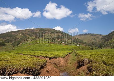 Panoramic Image Of Rural Landscape With Tea Fields, Uganda