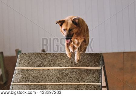 Agility Competitions, Sports Competitions With Dog. Future Winner And Champion. Red Haired Large Sha