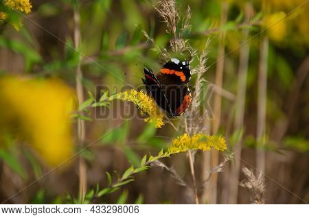 Red Admiral Butterfly Sits On Yellow Wildflowers With Copy Space. Natural Background. Bright Insects