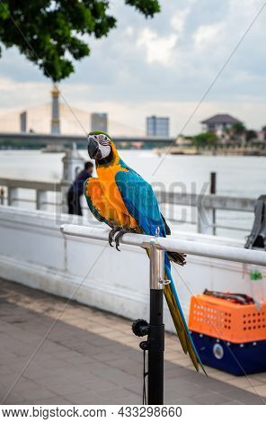 Colorful Blue And Gold Macaw Parrot Standing On Iron Perch.