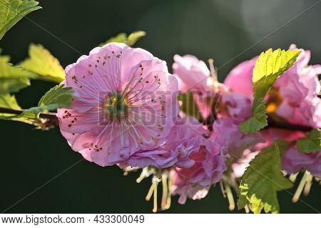 Beautiful Macro View Of Delicate Spring Pink Flowering Almond Tree (prunus Triloba 'multiplex') Blos