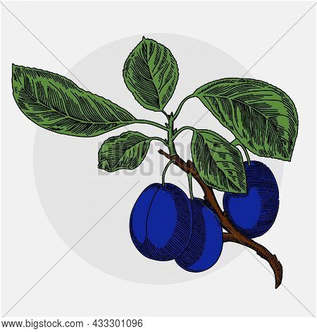 Plums On A Branch With Leaves. Color Illustration. Vector