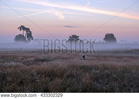 Blossoming heather in the fog early morning on the national park de Hoge Veluwe in the Netherlands