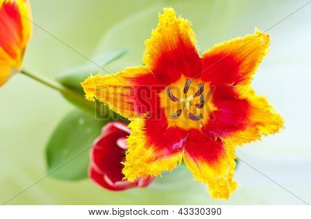 Beautiful Tulip