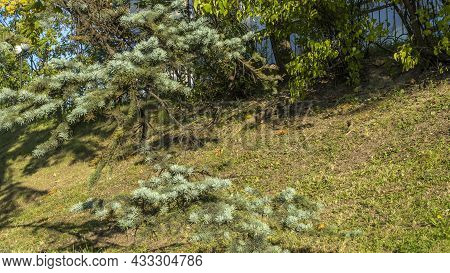 Evergreen Spruce Branch In The City Park. Green Grass Lawn. The Branches Of Blue Spruce.