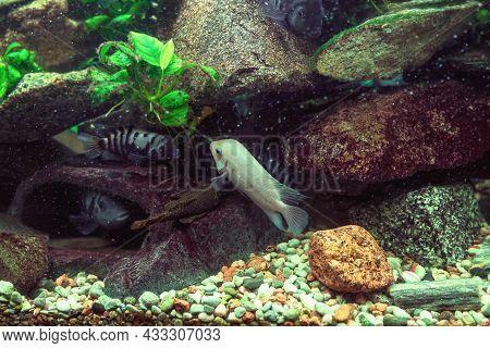 Variety Of Cichlids Swimming: Cichlasoma Nigrofasciatum Alba, Convict Cichlids, Cichlasoma Nigrofasc