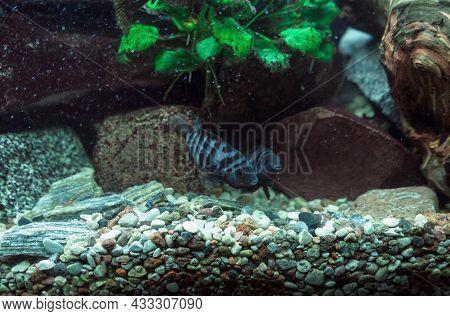 Pair Of Convict Cichlids (cichlasoma Nigrofasciatum) Swimming In Fish Tank