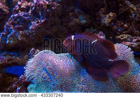 Close Up View Of Maroon Clownfish Swimming Over Soft Coral - Umbrella Leather, Toadstool Mushroom Le