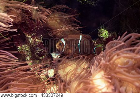 Maroon Clownfish Or Premnas Biaculeatus In Anemeones View