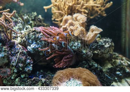 Symbiotic Mutualisms With Anemones Of Two Amphiprions Ocellaris Swimming Near Bubble-tip Anemone