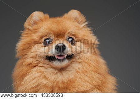 Pomerian Breed Fluffy Tiny Doggy Against Gray Background