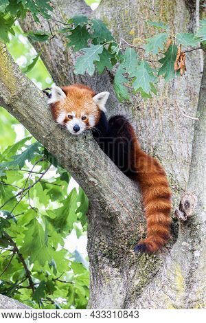 Red Panda - Ailurus Fulgens - Portrait. Cute Animal Resting Lazy On A Tree, Useful For Environment C