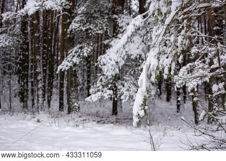 Winter Forest. Snow-covered Fir Branch In The Foreground. In The Background There Are Tree Trunks On