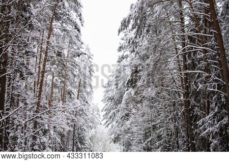 Winter Nature. The Tops Of Snow-covered Trees. Winter Pine Forest. A Strip Of Gray Sky.
