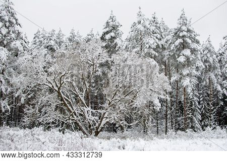 Winter Landscape. Snow-covered Trees. Coniferous Forest Shrouded In Winter Snow