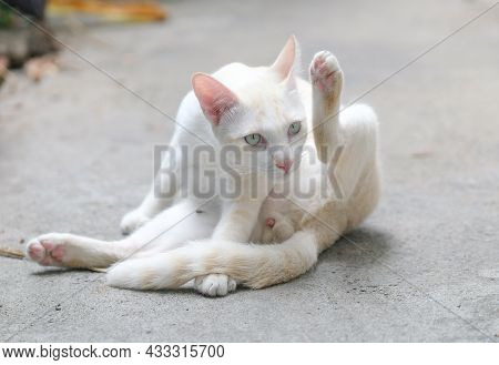 A Cute White Cat, A Native Breed That Is Popular In Common People's Homes.