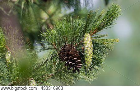 Eastern White Pine Cone, Northern White Pine, White Pine, Weymouth Pine (british), Soft Pine, Poland