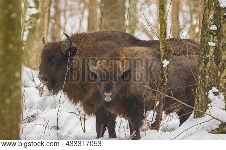 Two Free Ranging European Bison In Wintertime Forest, Bialowieza Forest, Poland, Europe
