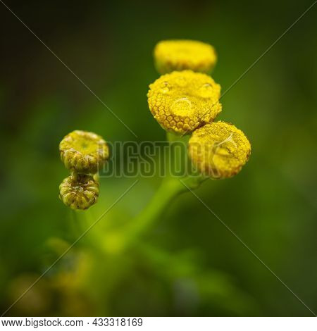 Macro Image Of Yellow Tansy Flower Buds With Morning Dews.  Selective Focus. Closeup, Macro Image.