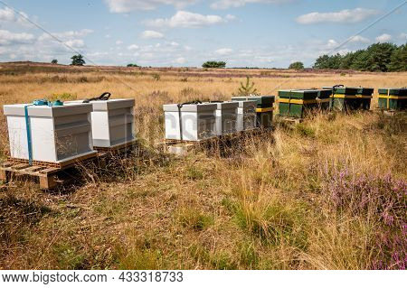 Beehives On The Purple Blooming Moors In The National Park 'the Hoge Veluwe' That Produce Veluwe Hea