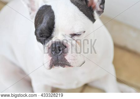 Sleepy French Bulldog, French Bulldog Or Sleepy Dog