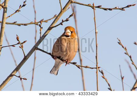 Hawfinch sitting on the wood