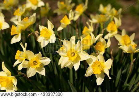Yellow Daffodils. Flower Blooms In Spring In The Garden. Yellow Flowers At Field Close Up, Flower Ba