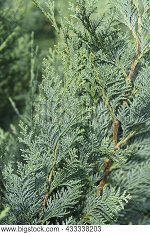 Lawsons Cypress Columnaris - Latin Name - Chamaecyparis Lawsoniana Columnaris