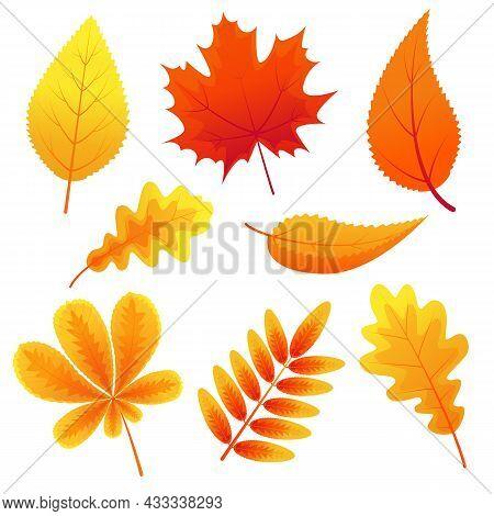 Autumn Leaves Of Maple, Oak, Mountain Ash, Chestnut On White Background. Fallen Leaves. Autumn Natur