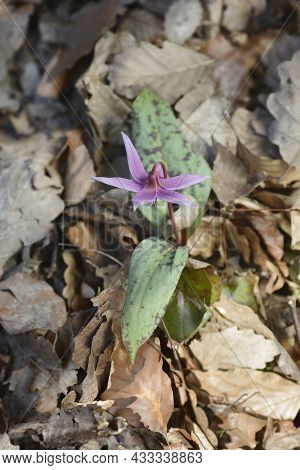 Dogs Tooth Violet Flower - Latin Name - Erythronium Dens-canis