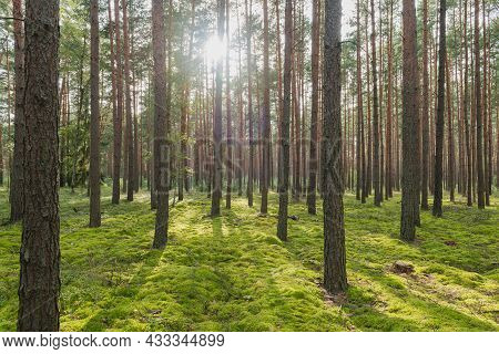 Tall Pine Forest. Slender, Tall, Brown Trunks Of Trees. The Ground Was Covered With Green Moss. It\'