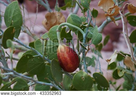 Caper Or  Capparis Sinaica Leaves And Fruits, Selective Focus