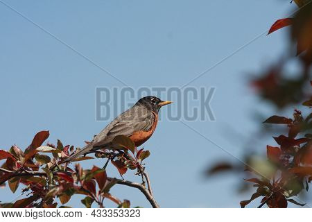 A Handsome American Robin Is Prettily Displayed Against A Clear Blue Sky