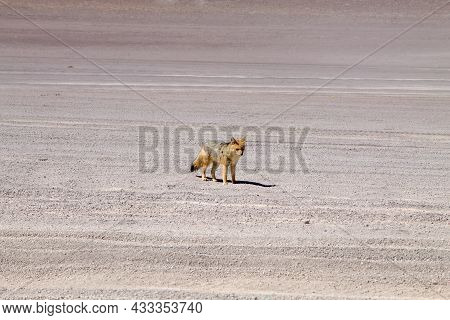 Andean Fox From Bolivia. Bolivian Wildlife On Road