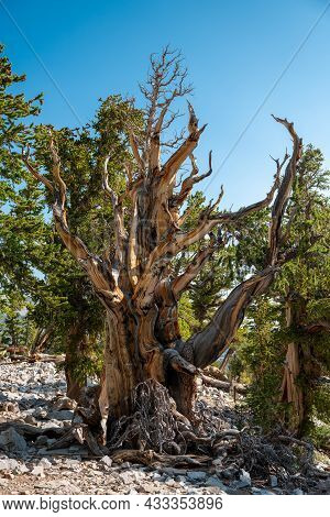 Bristle Cone Tree Grows Large Over Thousands Of Years In Great Basin National Park