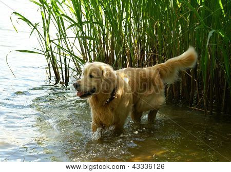 Dog With Prick Up Ears Into The River