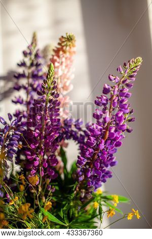 A Blooming Lupine Flower With Pink-purple And Blue Blooms. Bundle Of Lupines Summer Flower Backgroun