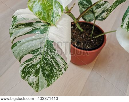 Monstera Albo Borsigiana Or Variegated Monstera. Leaf Closeup Of Full Plant In A Planter On A Wooden