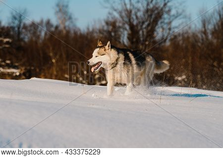Animal Life In The Wild, Husky On A Winter Hunt.