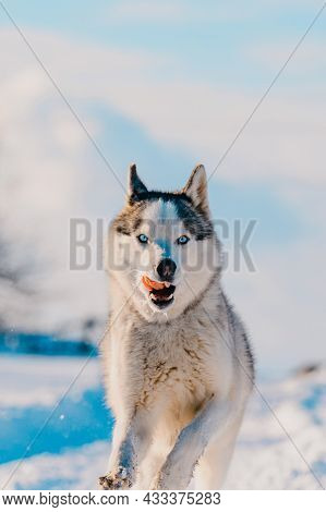 Husky Jogging In The Field, Snowy Road And Dog.