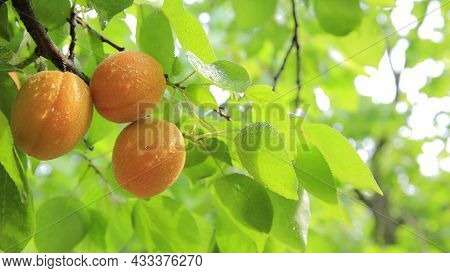 Tasty And Delicious Lemon Fresh And Healthy Lemon Yellow Lemon Freshness Yummy And Citrus Lemon In W