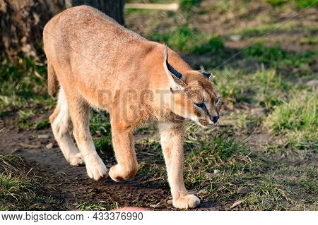 Close Up Of A Caracal, A Rare Species Of Cat.