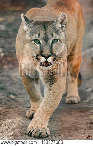 Cougar, A Beautiful Predator And A Resident Of The Zoo, A Dangerous Animal.