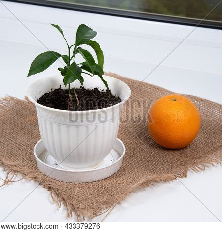 Orange Planting In Room. Potted Citrus Growing On Window Sill. Home Gardening.
