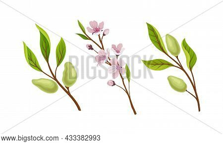 Green Almond Plant Branch With Fruit And Pink Blossom Vector Set