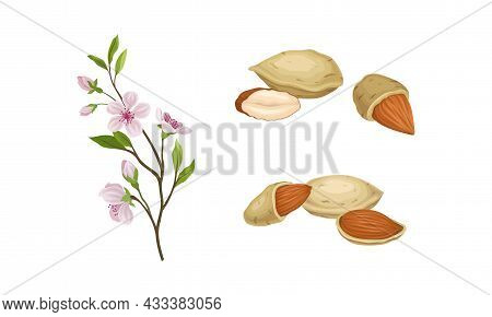 Almond Nut As Edible Seed And Blooming Flowering Plant Branch Vector Set