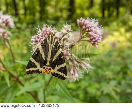 Jersey Tiger Resting On A Hemp-agrimony Flower Head In Sunny Ambiance