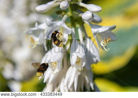 Bumblebees Feast On Sweet Nectar And Pollinate The Delicate White Flowers Of The Ornamental Hosta Pl