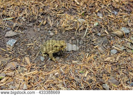 Common Toad On The Ground With Fir Needles And Small Stones