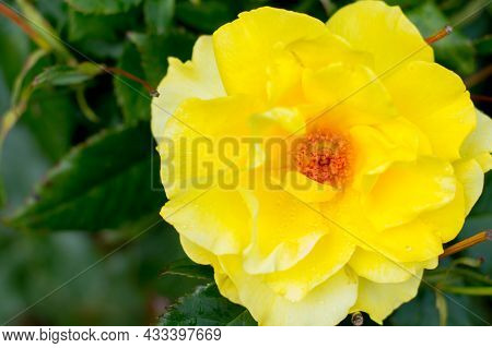 Open, Incredibly Beautiful Yellow Rose In The Garden, Close-up